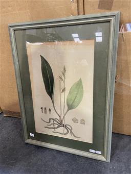 Sale 9094 - Lot 2035 - A Botanical hand-coloured Book Plate R.D. Fitzgeralds Australian Orchids printed by Arthur J Stopps (frame: 63 x 47cm) -