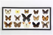 Sale 8860V - Lot 77 - A Framed Butterfly Diorama (25cm x 53cm)