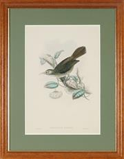 Sale 8845 - Lot 2021 - John Gould (1804 - 1881) - Meliarchus Sclateri (Birds of Guinea) 50 x 33cm