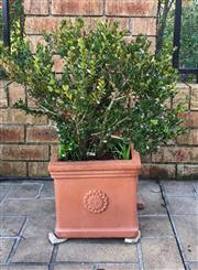 Sale 8562A - Lot 259 - Four square form terracotta planters, potted with buxus, H & W & D 30cm