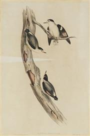 Sale 8841 - Lot 2048 - John Gould (1804 - 1881) - SITTELLA PILEATA: Black-capped Sittella (from Birds of Australia) 51.5 x 33.5cm