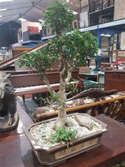 Sale 8760 - Lot 1022 - Potted Ficus Bonsai