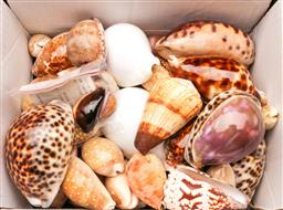 Sale 9110 - Lot 57 - A collection of shells, mostly Cowrie shells