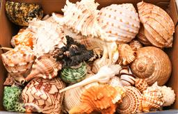 Sale 9110 - Lot 15 - A Collection of shells inc murex and gastropods