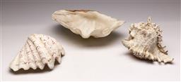 Sale 9136 - Lot 233 - A set of 3 shells incl 2 clam (L 26cm and 20cm) and another (L 20cm)
