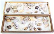 Sale 8985 - Lot 6 - A Good Collection Of Various Seashells Incl Cowrie And Spiney Murex