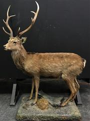 Sale 8567 - Lot 627A - Taxidermy Deer, full mount (H: 180, L: 120cm)