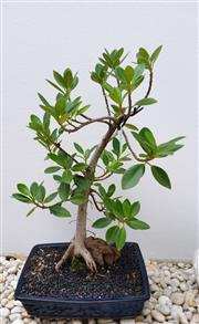 Sale 8690A - Lot 5005 - Bonsai: FICUS RETUSA, 1985, h.53, w. 36cm - donated by Bonsai & Beyond