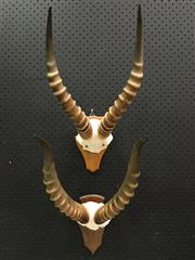 Sale 8567 - Lot 727A - Pair of Blesbok Skull Caps with Horns, wall-mount