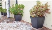 Sale 8550H - Lot 225 - A set of five large black glazed square pots with plants, H 57 x W 51cm