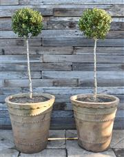 Sale 9040H - Lot 1 - A pair of terracotta planters with tall Buxus spheres 50cm height 50cm diameter