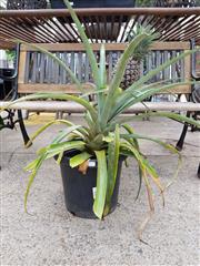 Sale 8740 - Lot 1227 - Potted Pineapple