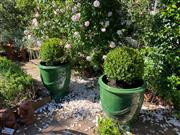 Sale 9087H - Lot 247 - A pair of glazed French Anduze style urns with Buxus. 60 cm height of pot, 1m total height 55 cm diameter