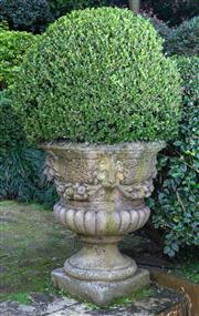 Sale 8568A - Lot 21 - A pair of composite stone campagna form urns modelled with lions heads, festoons and ribbed body, planted with mature buxus, total H...