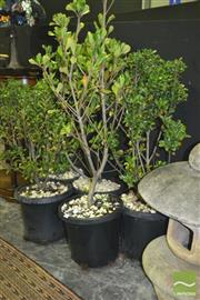 Sale 8227 - Lot 1004 - Collection of Hedging Plants