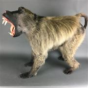 Sale 8638 - Lot 615A - Taxidermy Adult Male Chacma Baboon