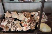 Sale 8189 - Lot 180 - Conch Shells with Others & Shell Wall Sconces