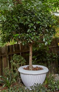 Sale 9080H - Lot 101 - A white painted concrete pot planted with topiary fig, Height 49cm x Total Height approx. 180cm x Diameter 70cm