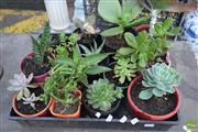 Sale 8532 - Lot 1225 - Tray of Succulents