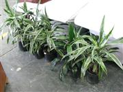 Sale 7937A - Lot 1156B - Collection Of Indoor Plants