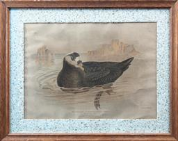 Sale 9120H - Lot 271 - A framed print of a speckled petrel after Gould in a recycled paper frame, frame size 35cm x 44cm