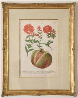Sale 9135H - Lot 98 - J W Weinmann (1737-1745), Pomegranate, mezzotint finished with hand colour in a hand made watergilded frame,  frame size 57 x 44cm
