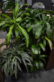 Sale 8099 - Lot 827 - Collection of Indoor Plants