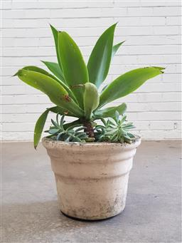 Sale 9102 - Lot 1288 - Agave in Concrete Pot