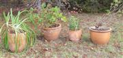 Sale 8550H - Lot 255 - A group of four circular terracotta pots of various sizes with plants, largest W 39 x H 29cm
