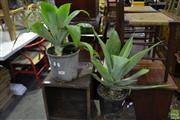 Sale 8566 - Lot 1683 - Pair of Small Agave Plants