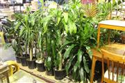 Sale 8499 - Lot 1071 - Collection of Indoor Plants