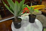 Sale 8566 - Lot 1636 - Pair of Small Agave Plants