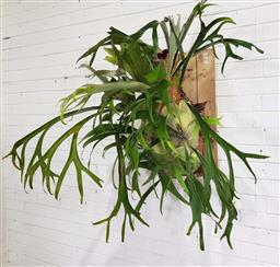Sale 9188 - Lot 1767 - Mounted staghorn (h111 x w120 x d80cm)