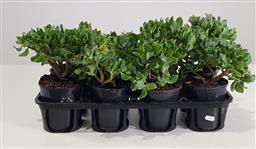 Sale 9255 - Lot 1451 - Collection of potted succulents (h:30cm)
