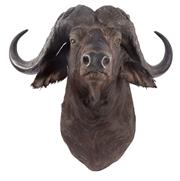 Sale 8439A - Lot 8 - A trophy size shoulder mount of a Cape buffalo bull, one of the big five game hunting animals, H 95cm