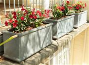 Sale 8908H - Lot 6 - Three grey painted square form planters, planted with a red riding hood plant. Height 39cm, Width 85cm x Depth 31cm