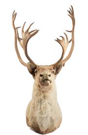 Sale 8431A - Lot 661A - Good Taxidermy Caribou, shoulder mount (H 127cm)