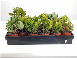 Sale 9255 - Lot 1478 - Collection of potted succulents (h:30cm)
