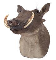 Sale 8431A - Lot 661C - Good Taxidermy Warthog, shoulder mount (H 46cm)