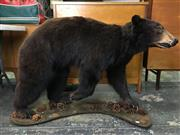 Sale 8567 - Lot 628 - Taxidermy Black Bear, full mount