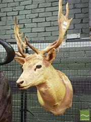 Sale 8444 - Lot 1059 - Fallow Deer Taxidermy Head