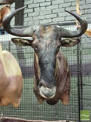Sale 8444 - Lot 1058 - Blue Wildebeest Taxidermy Head