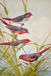 Sale 8000 - Lot 100 - Neville William Cayley (1886 - 1950) - Group of Crimson Finches watercolour