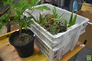 Sale 8289 - Lot 1095 - Eleven Succulents + Umbrella Tree