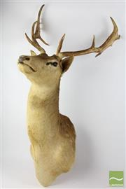 Sale 8516 - Lot 74 - Mounted Stag Head