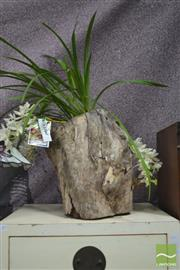 Sale 8406 - Lot 1177 - Three Spike Orchid in Hollow Log