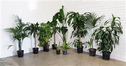 Sale 9174 - Lot 1014 - Collection of indoor plants (tallest200cm)