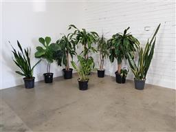 Sale 9174 - Lot 1132 - Collection of indoor plants (tallest 150cm)