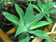 Sale 7974A - Lot 1036 - Collection of 4 Potted Agave