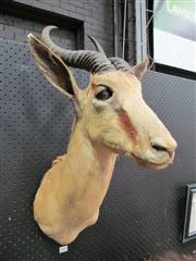 Sale 8431A - Lot 660 - Taxidermy Springbok Head, shoulder mount